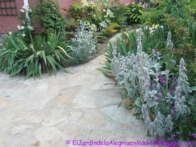El jardín de la alegría : Stachys byzantina. Cómo se limpian las ...