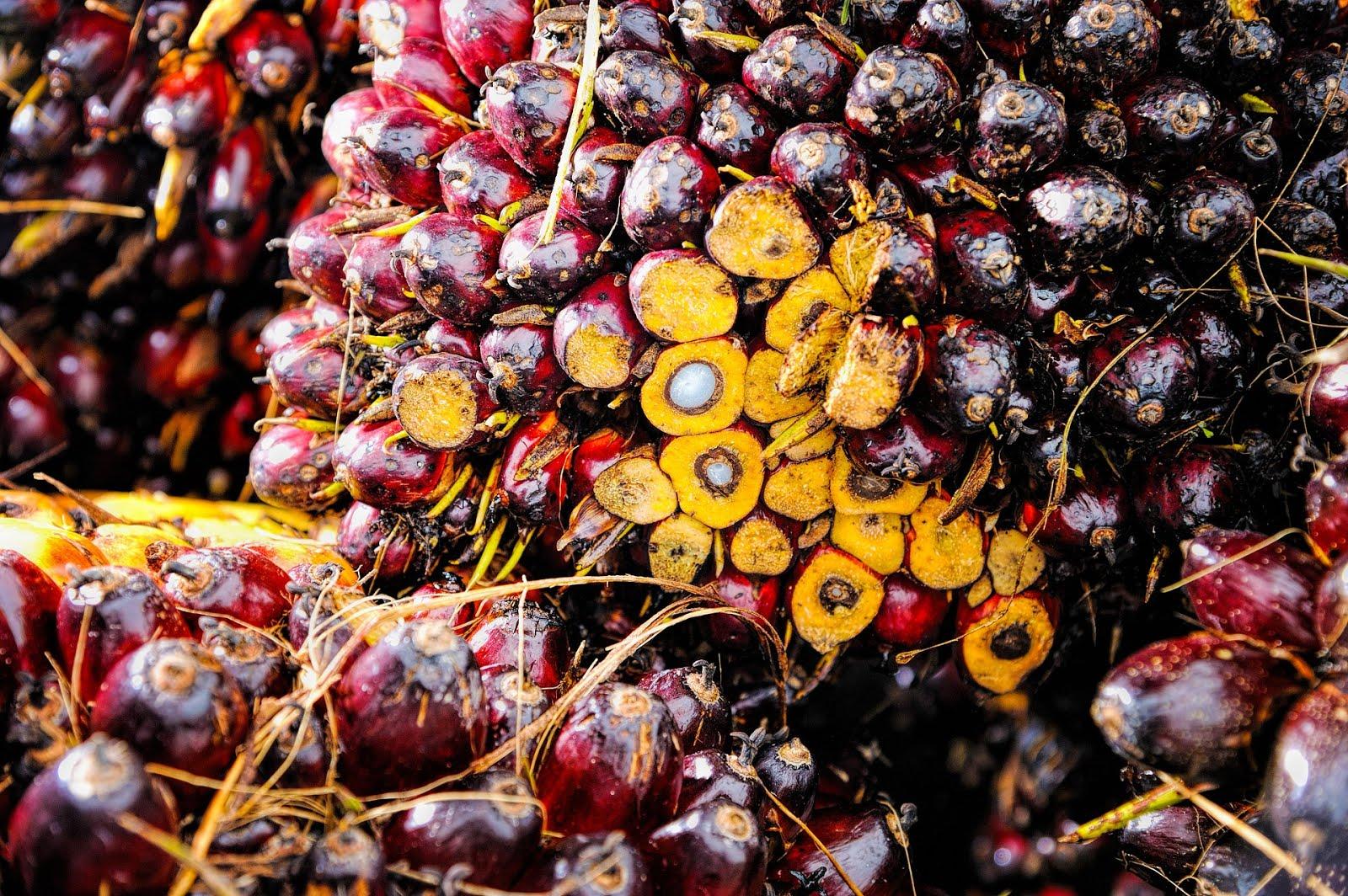 como se obtiene aceite de palma