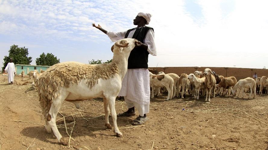 سعر الخروف في السودان 2021 شُعبة مصدري اللحوم تحدد أقل سعر للأضحية