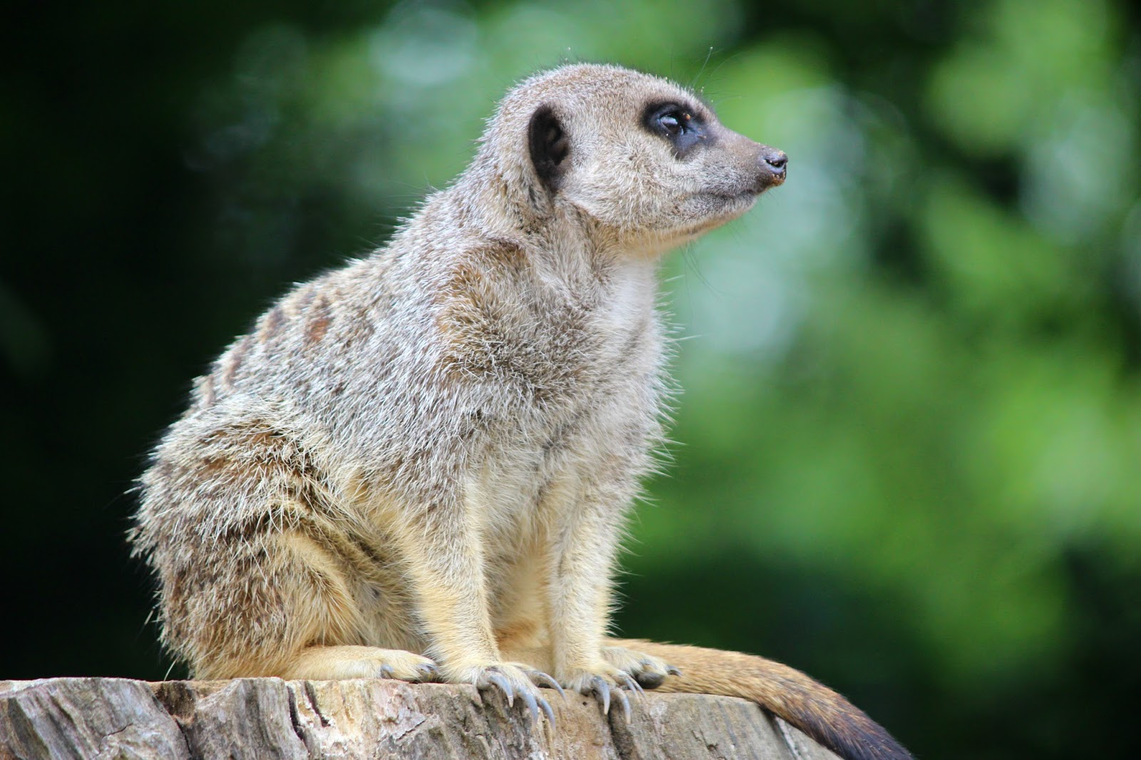 Isle Of Man Photo Diary baby meerkat wildlife park