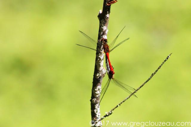 Sympetrum sanguin (Sympetrum sanguineum) Mâle et femelle (dessous), Fontainebleau