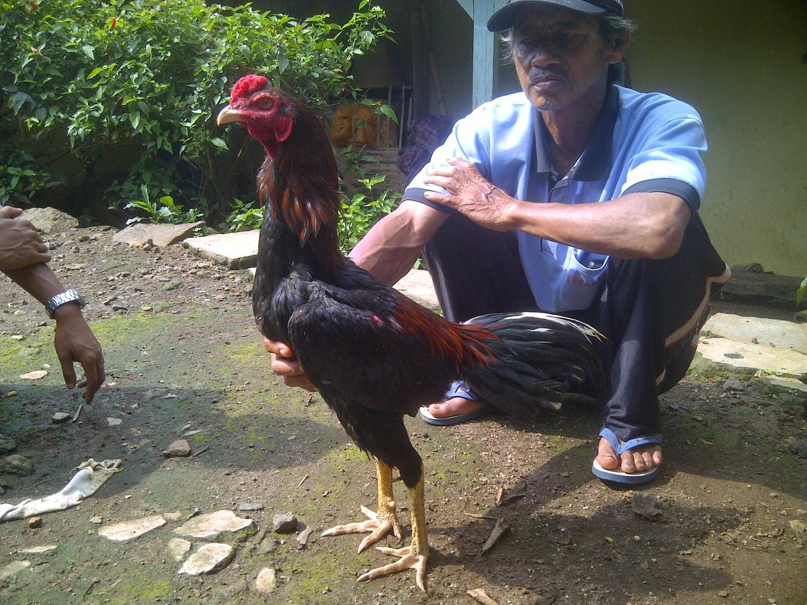 Ayam Tangkas Jawara Garut: Desember 2014