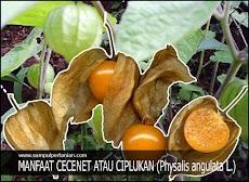 16 Manfaat Cecenet atau Ciplukan (Physalis angulata L.)