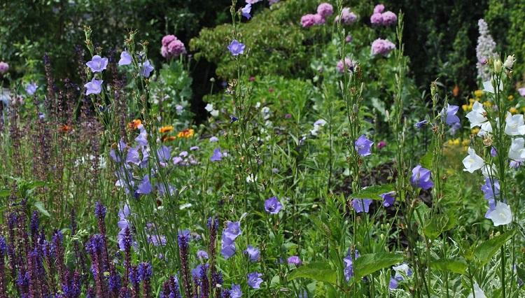 Lila Blütenfarben im Garten