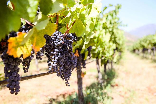 Nếu có cơ hội đi du lịch Chile, đừng bỏ qua chuyến tham quan các vườn nho quanh các thung lũng ở nông thôn. Dù là nhâm nhi một ly Sauvignon (tên một loại rượu) hay một chút Pinot Noir nhẹ nhàng, khí hậu mát mẻ ở Casablanca cũng đem đến cho rượu vang hảo hạng nơi đây sự hoàn hảo khó cưỡng.