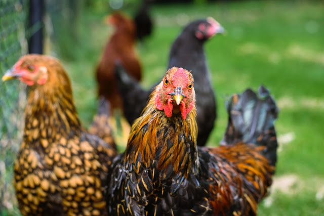 """Do you have a chicken lover in your life? Here's a list of great gift ideas to support her """"habit."""""""