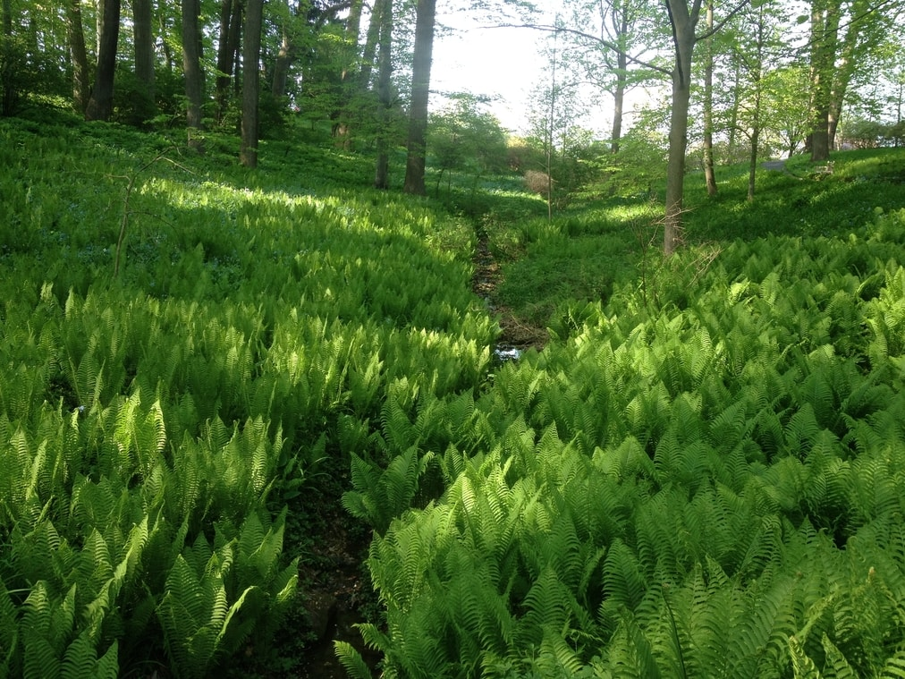 A valley of Matteuccia struthiopteris at Winterthur