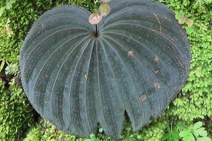 Dlium Shield orchid (Nervilia plicata)