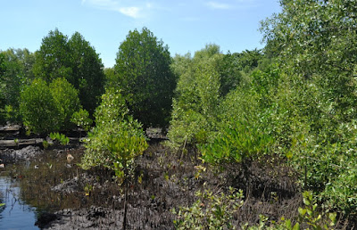 Contoh Proposal Penelitian Mangrove