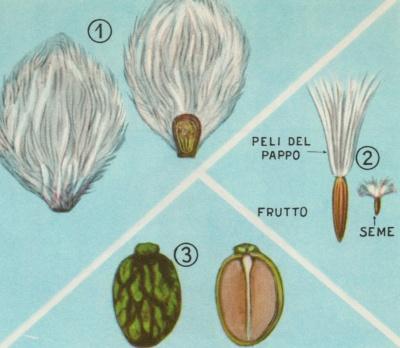 Piante e fiori parti della pianta il seme for Pianta di cocco