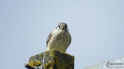Cernícalo (Falco sparverius), Cerros del Peñol, Olmopulli, Maullín.  Hembra.