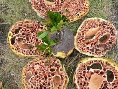 Sarang Semut Papua