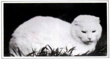 Suzie, the first scottish fold