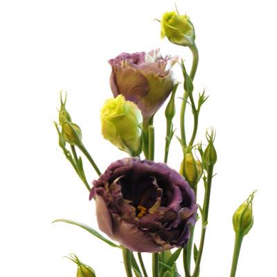 Roseann Black Pearl Lisianthus
