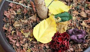 Čínska ruža - listy sa obnovujú, občasné žlté listy opadávajú, kvet kvitne iba jeden deň