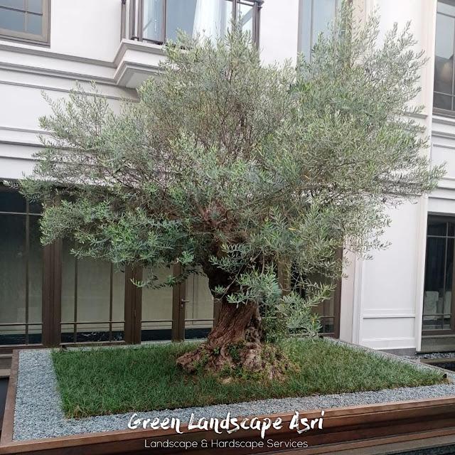 Jual Olive Tree Surabaya Garansi Tanaman Mati Terjamin
