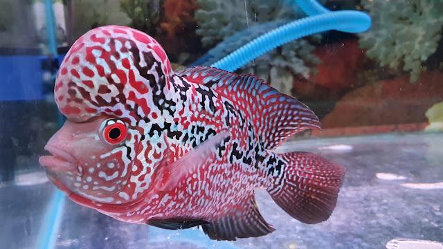 Cara Mudah Pelihara Ikan Lohan Berikut Tips dan Triknya