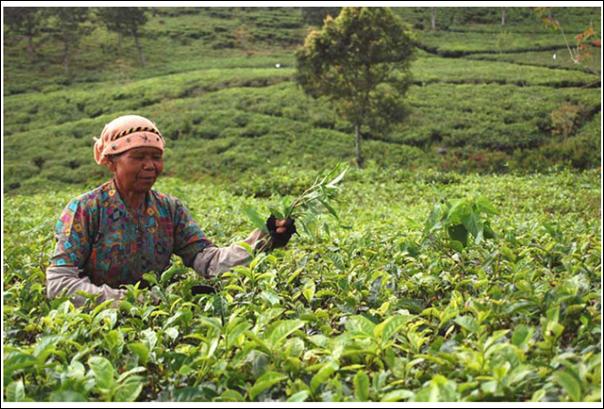Contoh Pekerjaan Dalam Bidang Agraris Contoh Proposal Pkm Kewirausahaan Slideshare Gambar 11 Perkebunan Teh Di Daerah Jawabarat