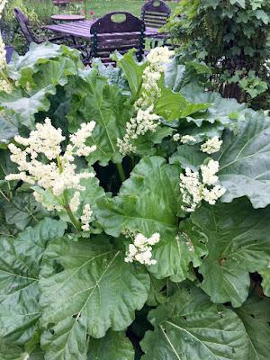 Rhabarberpflanze im Garten