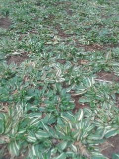 Harga Rumput Gajah Mini Varigata (variegata) Plus Pasang