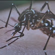 Disease spreading mosquito species found in Hayward
