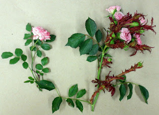 The plant on the left is a healthy rose while the plant on the right has rose rosette rose rosette diesease pictures