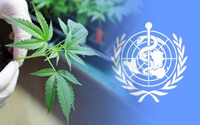 """Organização Mundial da Saúde remove cannabis da lista de """"drogas"""""""