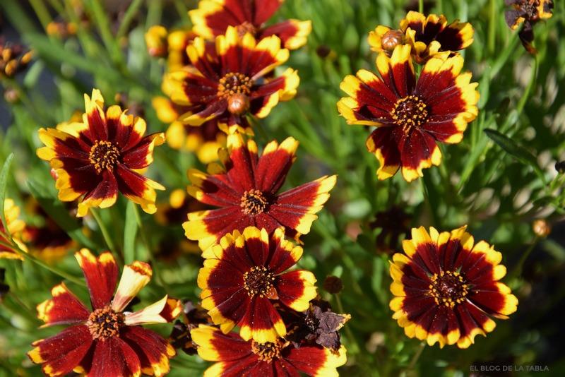 Flores bicolor amarillo y rojo oscuro de coreopsis tinctoria 'salsa'