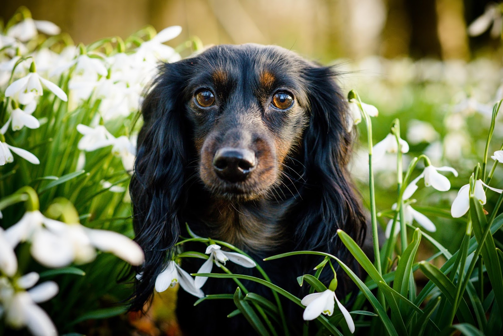 dachshund and cockerspaniel in snowdrops in golden hour liquidgrain liquid grain