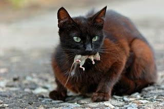 Por qué los gatos traen animales muertos