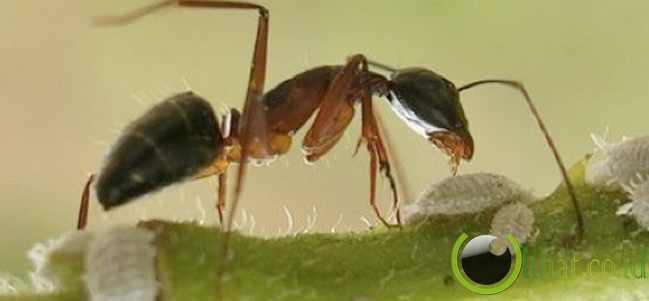 Malaysian Ant (Semut Malaysia)