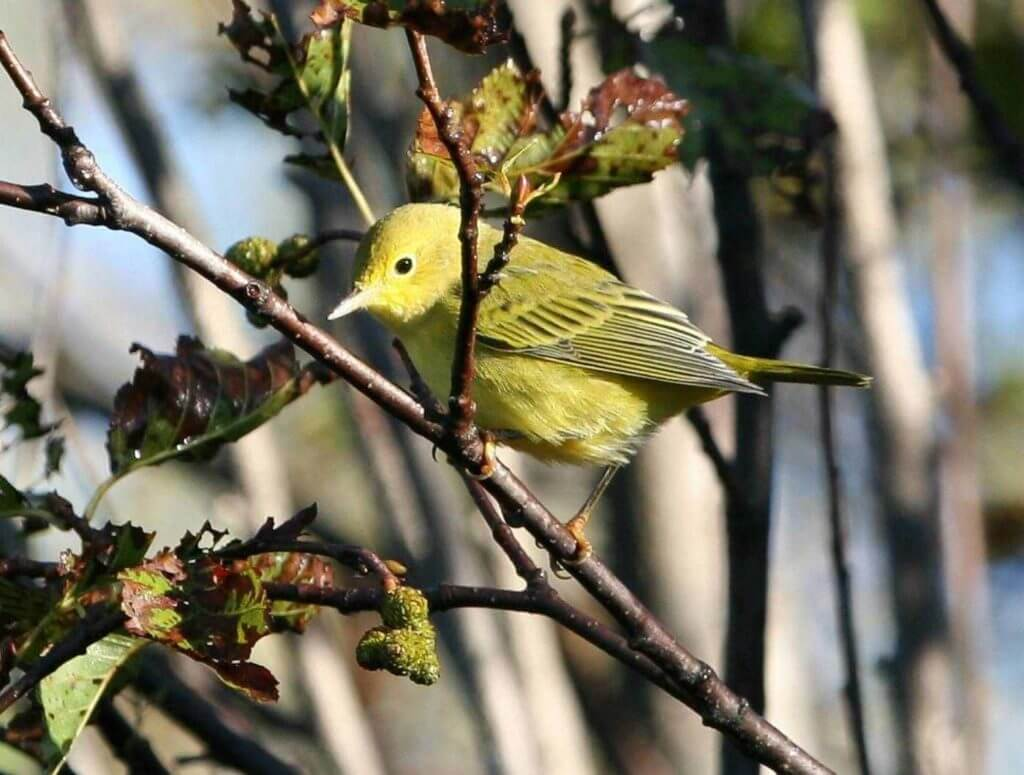 Yellow Warblers (Dendroica petechia)