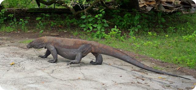 Komodo di Pulau Komodo