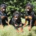 Η θέση της ΠΦΠΟ για τα ροτβάιλερς στην Κοζάνη: ''Την ευθύνη για την συμπεριφορά των ζώων έχει ο άνθρωπος''...
