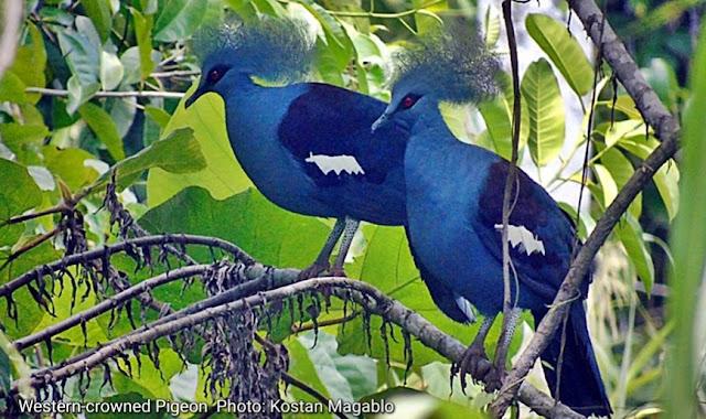 Western Crowned Pigeon in Klasouw Valley