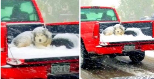 Owner Ties Dog In Open Pickup Truck, Dog Suffers In Biting Cold Under Snowfall