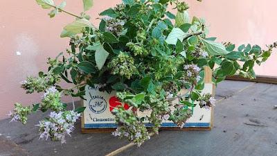 Raccogliere nell'orto erbe da seccare: origano