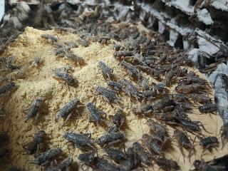 Jual Telur Jangkrik Cikampek