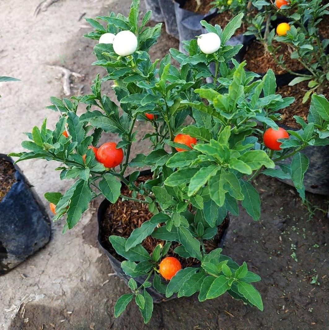 Tanaman Bibit Tomat Krismil Berbuah Warna Warni Sumatra Barat