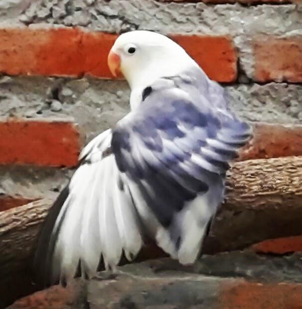Mengatasi (OB) Over Birahi pada Love Bird ] Love Bird Solusion Banyak cara yang bisa dilakukan untuk mengatasi (OB) Over Birahi pada lovebird. Jika Anda sudah mencoba salah satu cara, namun kurang memberi hasil positif, tidak ada salahnya mencoba alternarif lain, karena tips yang sama terkadang memberi hasil berbeda pada individu- individu lovebird tertentu.CP. 085647213500 - Pin . 7F865D6D