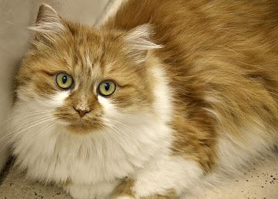 Perbedaan Kucing Persia Asli dan Palsu