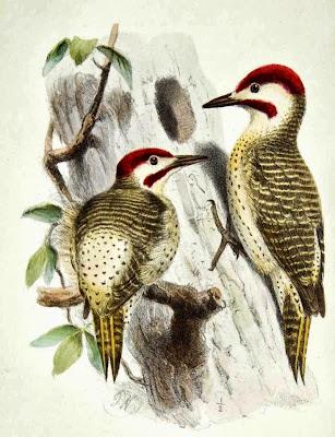 Bennett´s Woodpecker