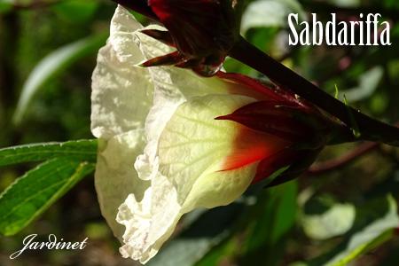 Hibisco Sabdariffa
