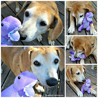 senior hound mix dog with purple dinosaur toy