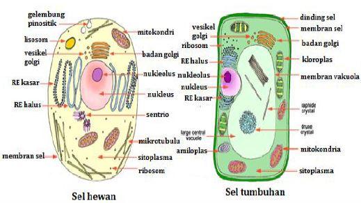 Gambar struktur sel hewan dan tubuhan - Sumber: edubio.info