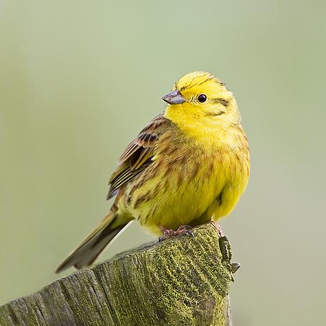 cambridgeshire bird club gallery yellowhammer