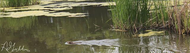 swimming muskrat