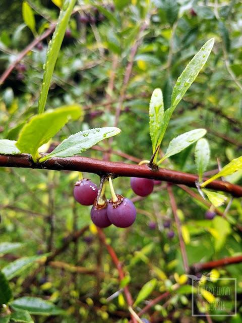 Prinsepia wiśniowa, jednokwiatowa (Prinsepia uniflora) - opis i uprawa w Polsce w gruncie, ciekawe azjatyckie rośliny owocowe i ozdobne do ogrodu, jadalne owoce na przetwory, ciekawostki botaniczne, prinsepia wiśniowa podłoże, gleba, jakie stanowisko, podlewanie, hodowla, mrozoodporność, wygląd, pokrój, owocowanie, kwitnienie, występowanie, mapa