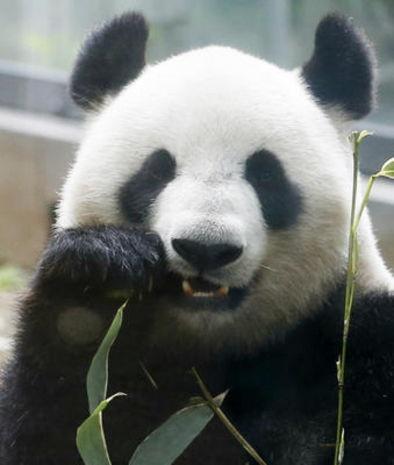 Nace por primera vez en 5 años un oso panda gigante en el zoo de Ueno