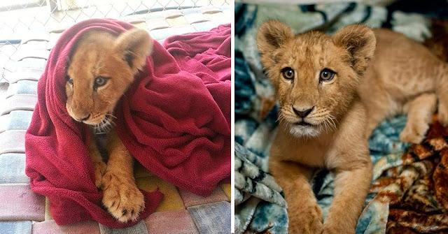 Спасенный львенок не может спать без одеяла, несмотря на то, что он уже вырос